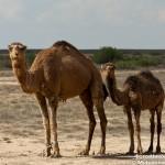 Верблюд с детёнышем